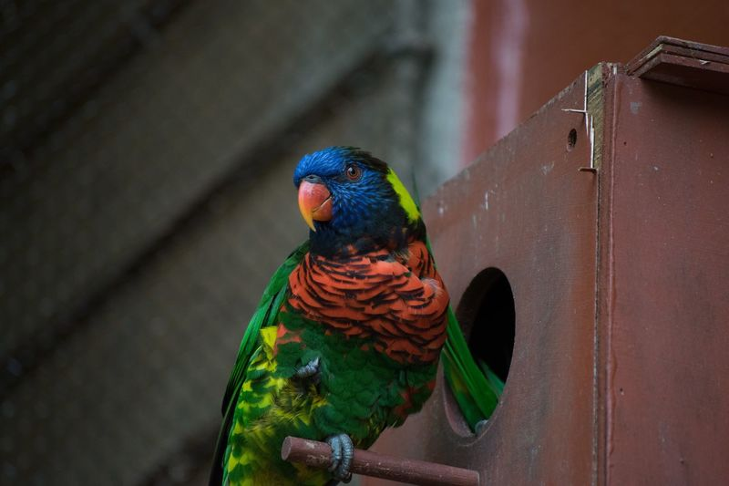 Low angle view of rainbow lorikeet perching on birdhouse