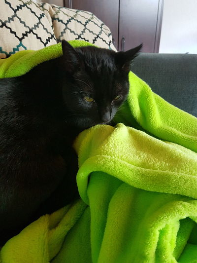 Animal Themes Black Cat Black Fur Black Shiny Fur Blanket Calm Cat Cuddling With Blanket Close-up Couch Cuddle Day Domestic Animals Domestic Cat Green Color Home Indoor Cat Indoors  Kitten No People Pets Relaxation Sleeping Whisker