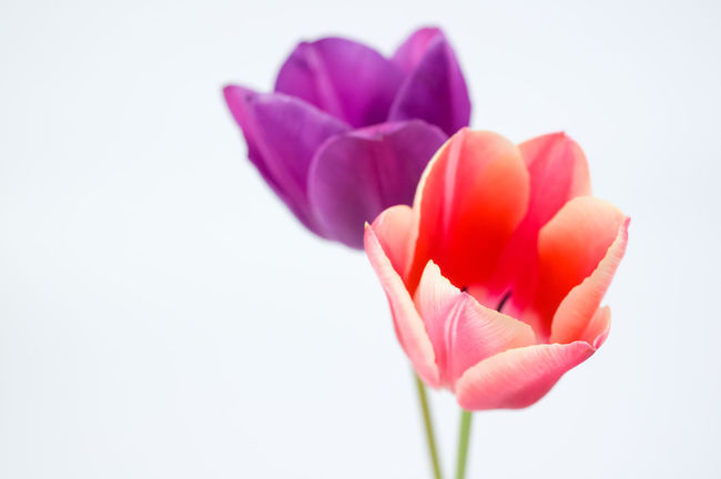 tulips in bloom studio shot Flower Flowering Plant Petal Freshness Fragility Vulnerability  Plant Close-up Beauty In Nature Flower Head Inflorescence White Background Nature Studio Shot Tulip No People Pink Color Copy Space Indoors  Growth Purple Sepal