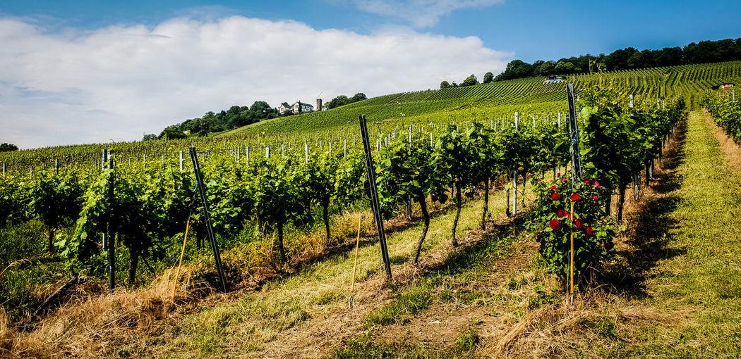 🌹Wein am Wartberg Weinberge Weinliebe Farview Wartberg Heilbronn Vinelove Tree Rural Scene Tea Crop Agriculture Field Wine Crop  Vine - Plant Farm Vine Vineyard