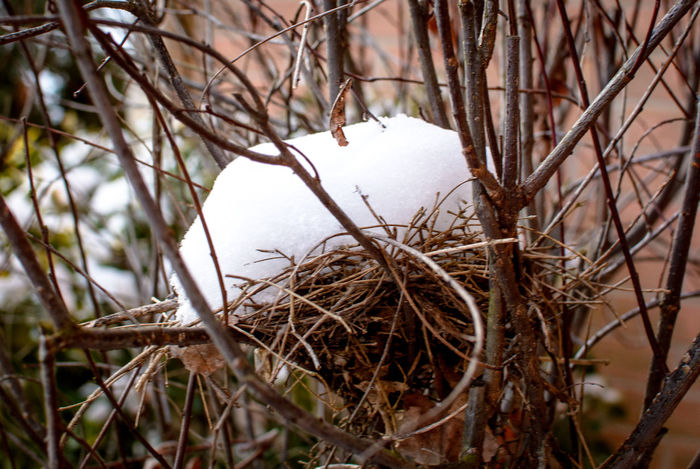 Snow covers a robin's nest sitting in a bush. Robin Nest Robin's Nest Animal Themes Beauty In Nature Bird Nest Branch Close-up Day Nature No People Outdoors Snowy Bird Nest Tree