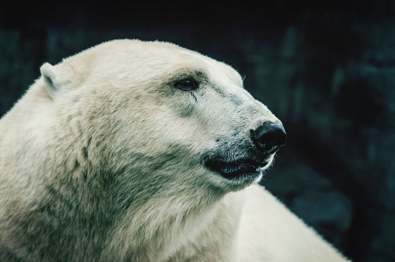 Close-up of polar bear