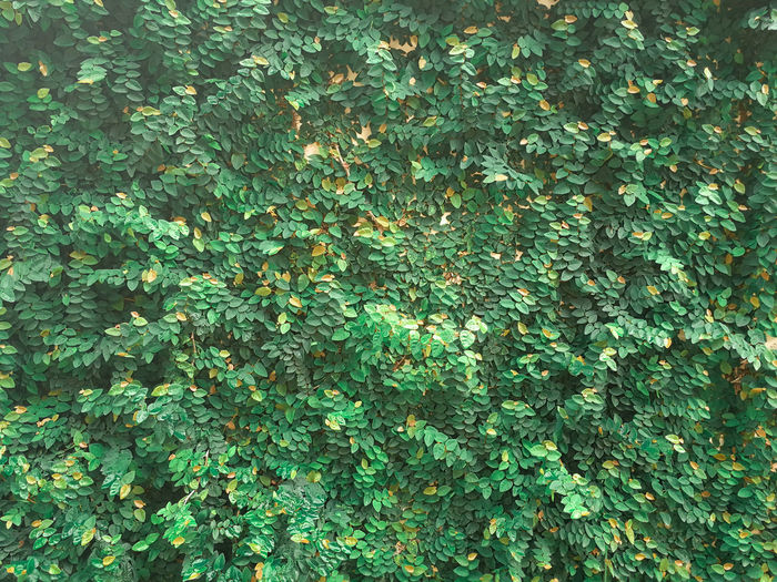 Climplant Climping Cling Green Nature Nature Wall Tree Wall Background Textured  Wall Creeper Creeper Plant Overgrown Vertical Vertical Garden Grass Easy On The Eyes Ficus Pumila Ficus Leaf Creeping