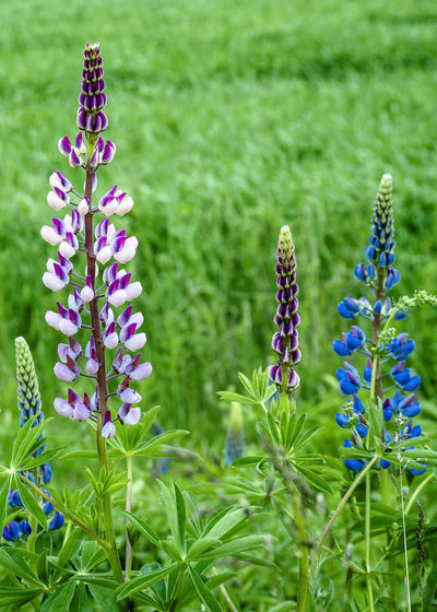 Lupin flowers in the spring Plant Flower Flowering Plant Beauty In Nature Growth Purple Freshness Land No People Day Green Color Springtime Fragility Field Nature Flower Head Canada Colors Lupin Spring Spring Flowers Grass Close-up Garden Flowerbed