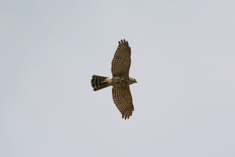 Low angle view of eagle flying in sky
