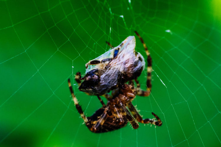 Animal Behavior Animal Themes Animals In The Wild Close-up Day Focus On Foreground Green Color Insect Nature No People One Animal Selective Focus Spider Spider Close Up Spider Macro Spider Web Spinne Spinnenmakro Wildlife