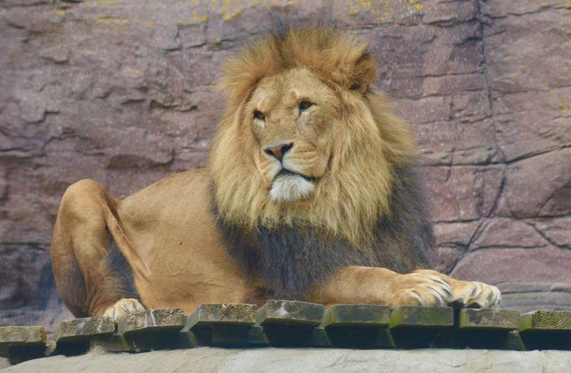 Lion Big Cats