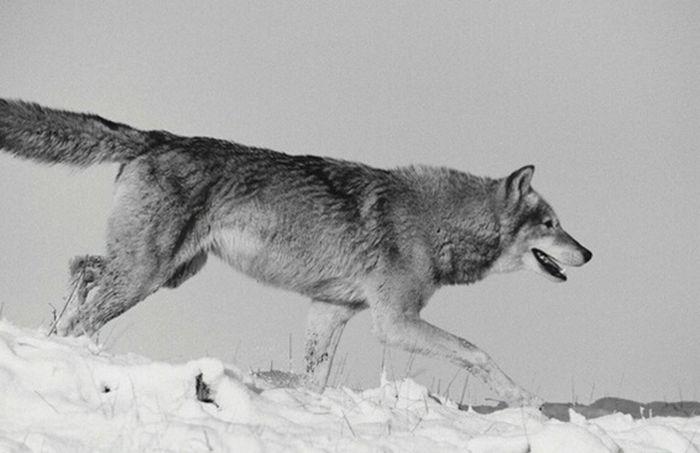 BIG BAD. Wolf Pack Wildlife Nature Photography Documentary Wildlife Photography Reportage Photography Black & White Photography Monochrome Taking Photos Trail Running alfa female