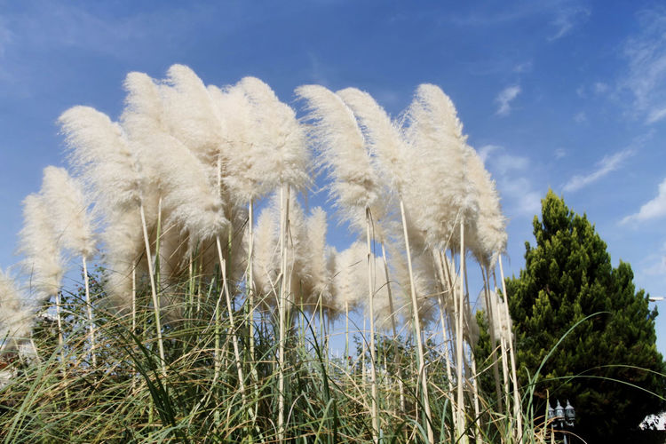 Feather Reed Grass Beauty In Nature Blue Brushes Close-up Cloud - Sky Day Feathered Reed Grass Feathers Grass Growth Idyllic Landscape Landscapes Low Angle View Nature Nature No People Non-urban Scene Outdoors Plant Scenics Sky Tranquil Scene Tranquility Whispy Clouds