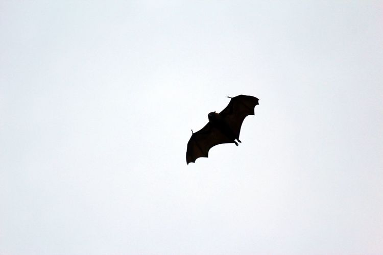 I am the bat Adelaide Animals In The Wild Australia Australian Wildlife Bat Bat Signal Beauty In Nature Black And White Botanical Gardens Dusk Flying Flying Fox Halloween High In The Sky Hook Monochrome Nature No People One Animal Scary Silhouette Spooky Wildlife Wings Wingspan
