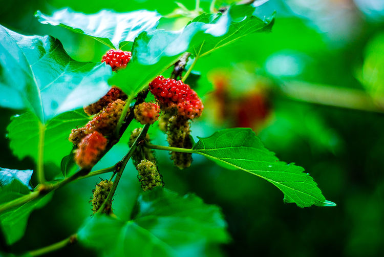 Mulberry Mulberry Fruit Tutti Frutti EyeEmFruits