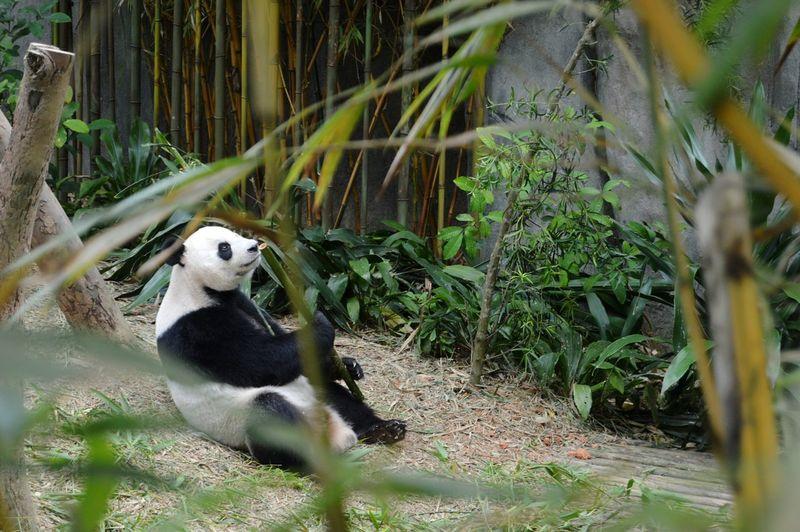 Panda - Animal