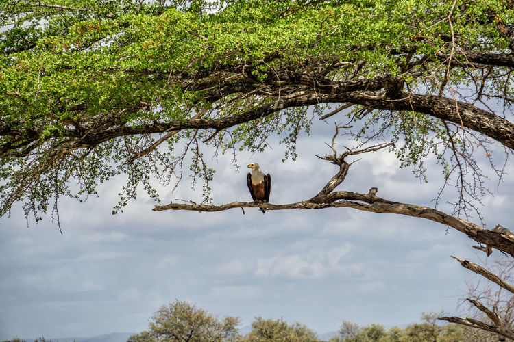 African fish eagle in a tree in Selous National Park Animals In The Wild Animal Themes Animal Tree Plant Animal Wildlife Vertebrate Bird Branch Nature No People Day Growth Sky Green Color Cloud - Sky Outdoors Eagle Haliaeetus Vocifer Africa Tanzania Selous National Park One Animal Perching Low Angle View
