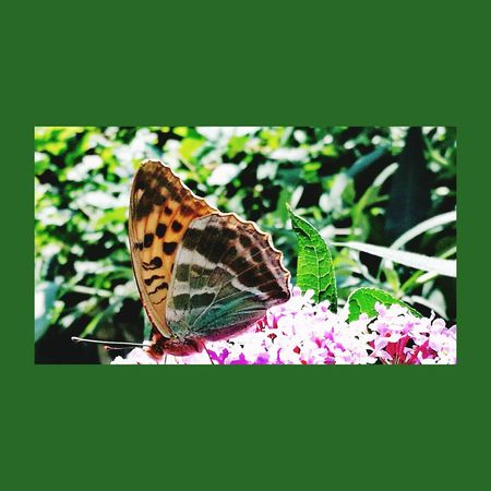 Insect One Animal Animal Themes Animals In The Wild Butterfly - Insect Plant Day Nature Outdoors No People Animal Wildlife Close-up Full Length Fragility Perching Flower Beauty In Nature Freshness Lilac Summer Lilac