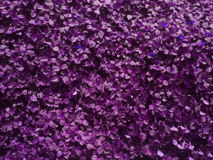 Designs Wall Art Backgrounds Beauty In Nature Cloth Decoration Curtain View Curtains Flower Flower Head Fragility Freshness Full Frame Garment Textured Garment Design Growth Nature No People Outdoors Petal Pink Color Purple Purple Color Textile Art Textile Design Wallpaper