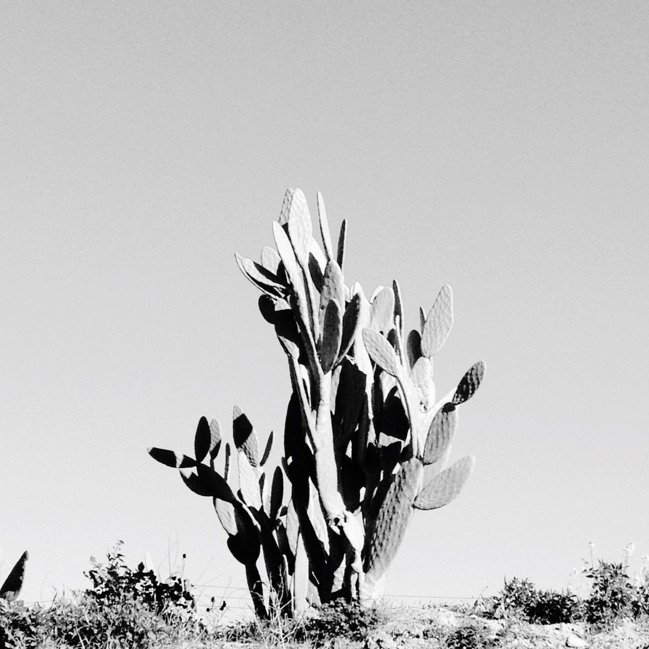 Cactus On Field Against Clear Sky