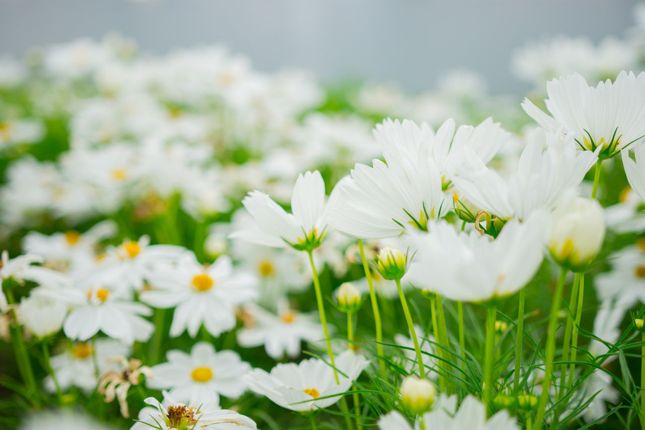 flowering plant, flower, freshness, fragility, vulnerability, beauty in nature, plant, white color, growth, petal, flower head, inflorescence, close-up, selective focus, day, nature, field, daisy, land, no people