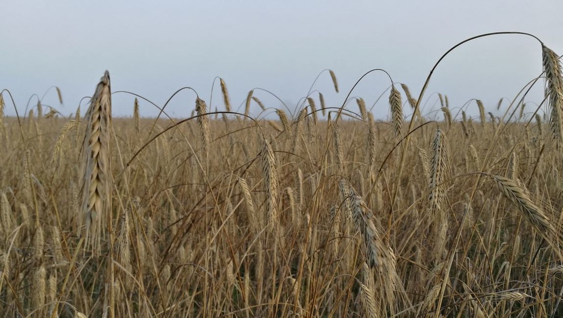 Nofilter Fog Horizon Horizon Over Land Beauty In Nature Cereal Plant Rural Scene Brown Foggy Nature Plant Close-up Wheat Sky Farm Field Agriculture Growth Crop  Crop  Landscape