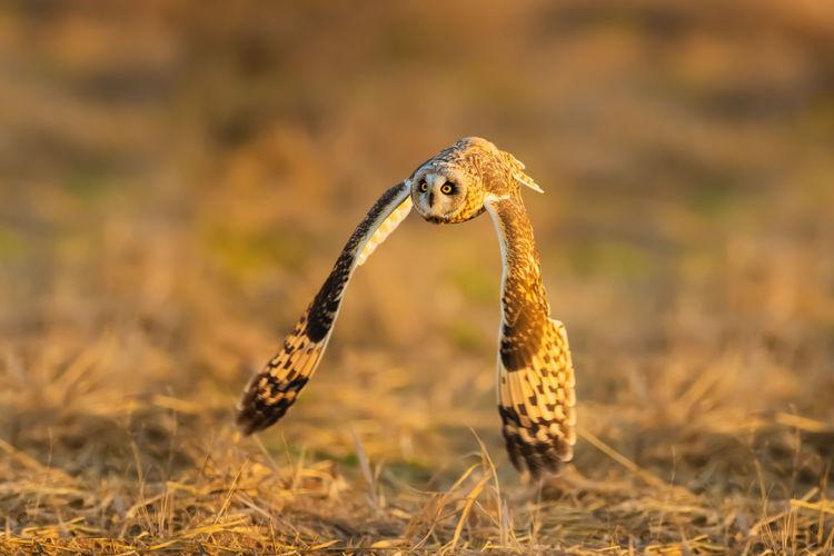 短耳鸮:我车拍,它径直飞向我,擦