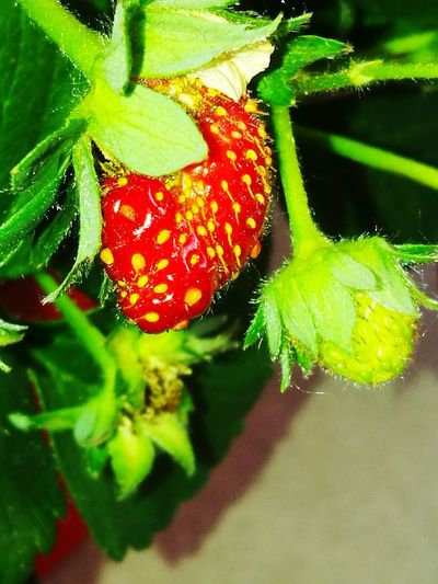 Green Color Strawberries The First Flower Red Color FragilityBelgium Seraing Fruits ♡ my home