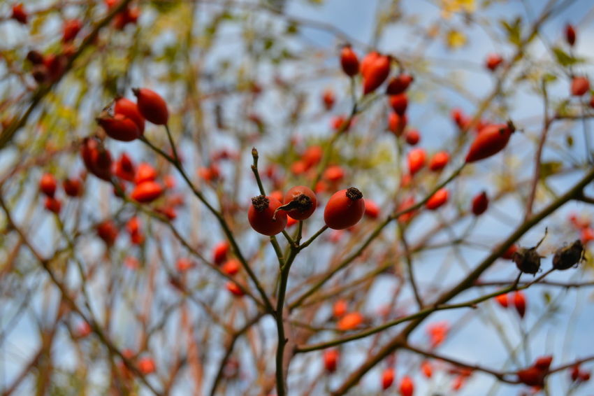Autumn Autumn Colors In My Garden Beauty In Nature Beauty In Nature Blue Sky Branch Close-up Day Focus On Foreground Food And Drink Freshness Fruit Growth Low Angle View Nature No People Outdoors Red Red And Green Rose Hip Rose Hips Rowanberry Tree Wild Roses