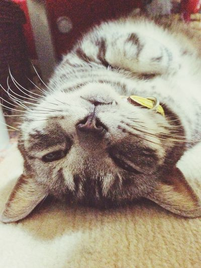 Howl Cat Sulk In Bed Sulking