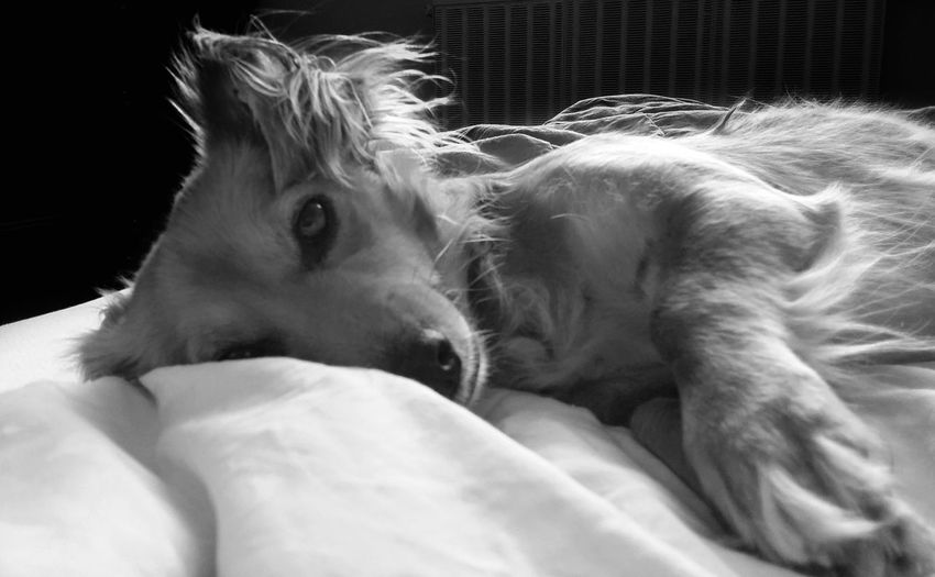 Animal Themes AntiM Bed Blackandwhite Close-up Day Dog Dog In Bed Dog Portrait Domestic Animals Indoors  Lying Down Mammal Monochrome My Dogs Are Cooler Than Your Kids No People One Animal Pets Relaxation Sleeping SweetSally Pet Portraits