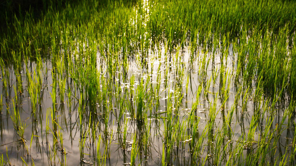 Grass Growth Nature Green Color Outdoors Field Rice Paddy Backgrounds Day Rice - Cereal Plant Bamboo - Plant Full Frame Abundance No People Plant Tranquility Cereal Plant Beauty In Nature Water Scenics
