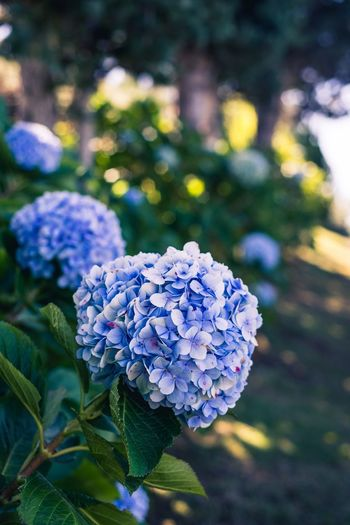 Hawaii Flowering Plant Flower Plant Beauty In Nature Vulnerability  Hydrangea Freshness Fragility Nature Flower Head Purple Leaf Blue Focus On Foreground Close-up Day Plant Part Petal Growth