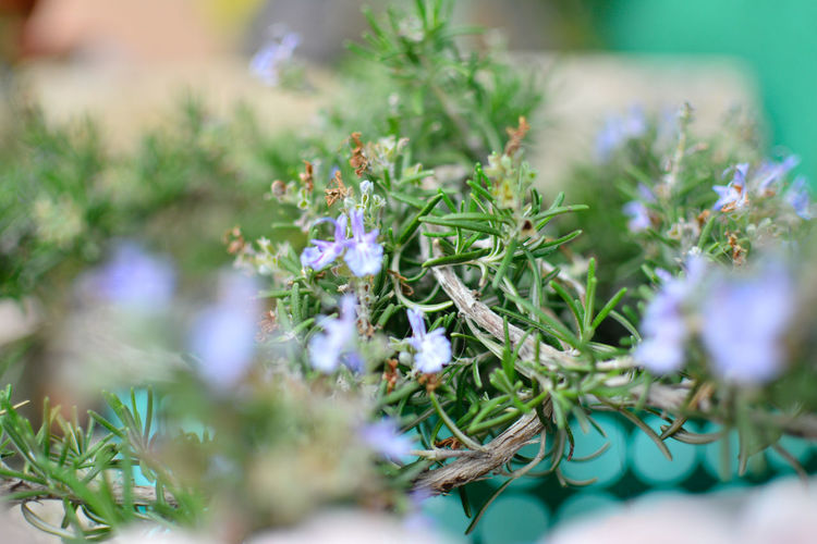 Beauty In Nature Close-up Day Flower Fragility Freshness Green Color Growth Nature No People Outdoors Plant Rosemary Rosemary Flowers Rosemary Herb Selective Focus