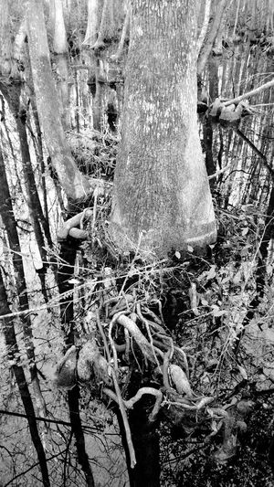 Hiking_walking Swamp Cyprus Fanny Bay Trail Near Lake City, FL Nature Photography Blackandwhite Photography
