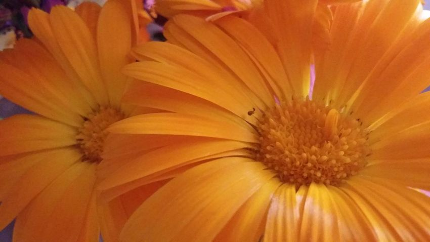 Flower Flower Head Beauty In Nature Orange Color Nature Orange Eyem Nature Garden Photography My Garden Is A Wonderland Summertime Eyemnaturelover Beauty In Nature Eye4photography  Eyembestpics Yellow Flowers EyeEm Flower Flower Collection Flowerlovers Flowers, Nature And Beauty No Edit/no Filter