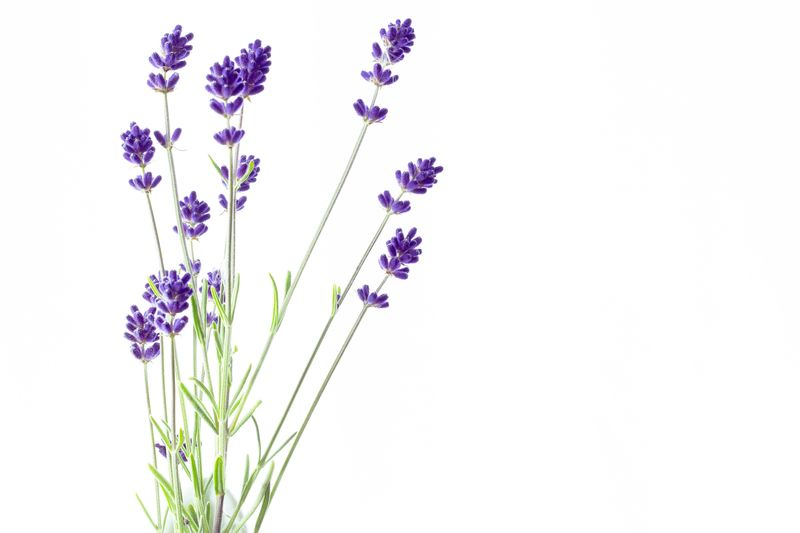 Lavender Flower Plant Flowering Plant White Background Copy Space Freshness Vulnerability  Lavender Studio Shot Lavender Colored Indoors  No People Purple Nature Growth Close-up Beauty In Nature Fragility