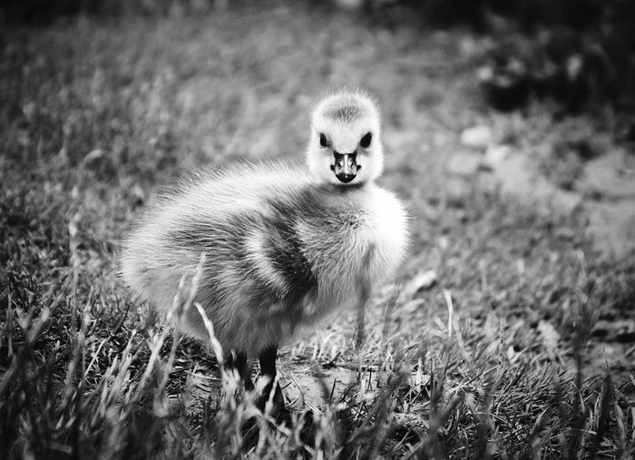 Duckling On Grassy Field