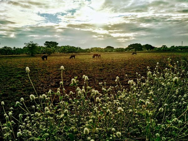 Agriculture Animal Themes Beauty In Nature Cloud - Sky Day Domestic Animals Farm Field Grass Growth Landscape Mammal Nature No People Outdoors Rural Scene Scenics Sky Tranquil Scene Tranquility Tree