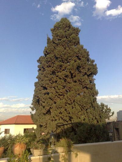 The memory of trees Cyprus Tree Nature Old Cyprus Tree Outdoors Palestine Tree Tulkarm