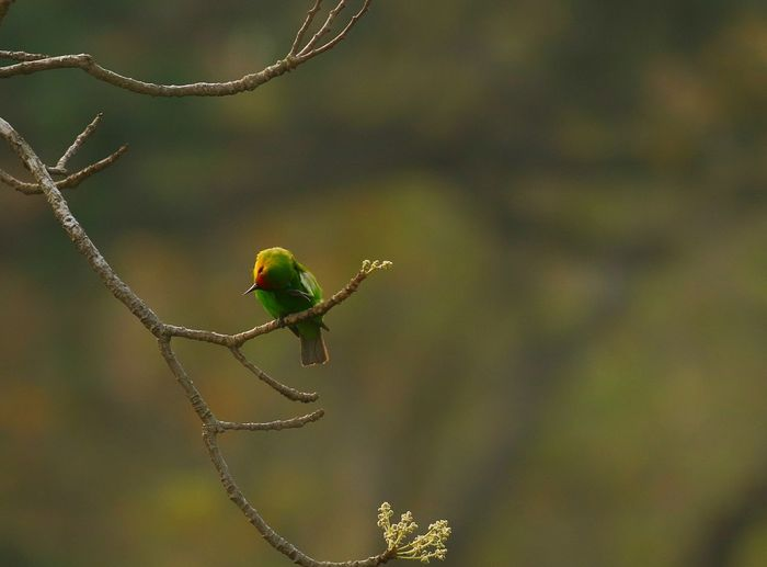 Golden-fronted Leafbird Golden-fronted Leafbird Jahidhasansajal Goldfishphotography Common Birds Bird Perching Trapped Insect Animal Themes Close-up
