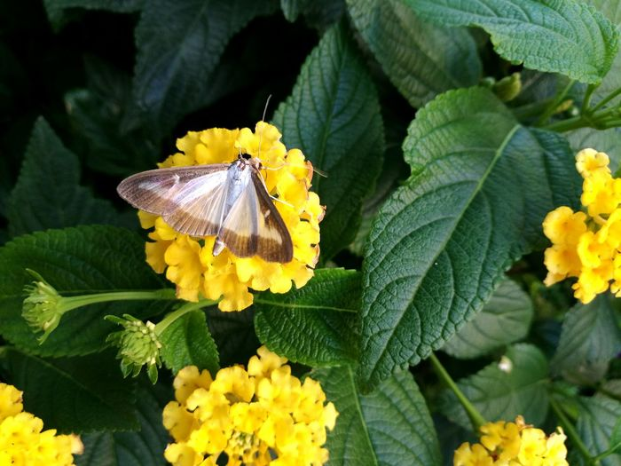 High Angle View Of Butterfly On Yellow Lantana Camara