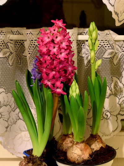 Hyacinths - Hiacynty Beauty In Nature Blue Close-up Flower Flower Head Fragility Freshness Growth Hiacynt Hyacinth Indoors  Leaf Nature Night No People Pink Color Plant Red White Winter Zima