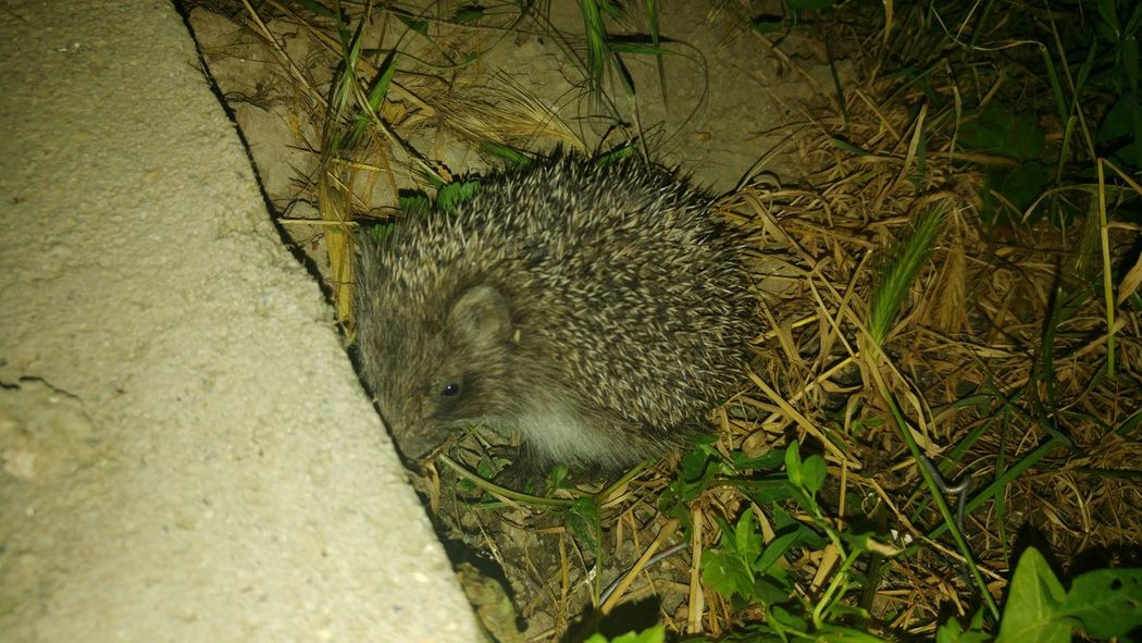 Nature Animals At Night Animals Hedgehog Baby Hedgehog Beauty In Nature LG G4📱
