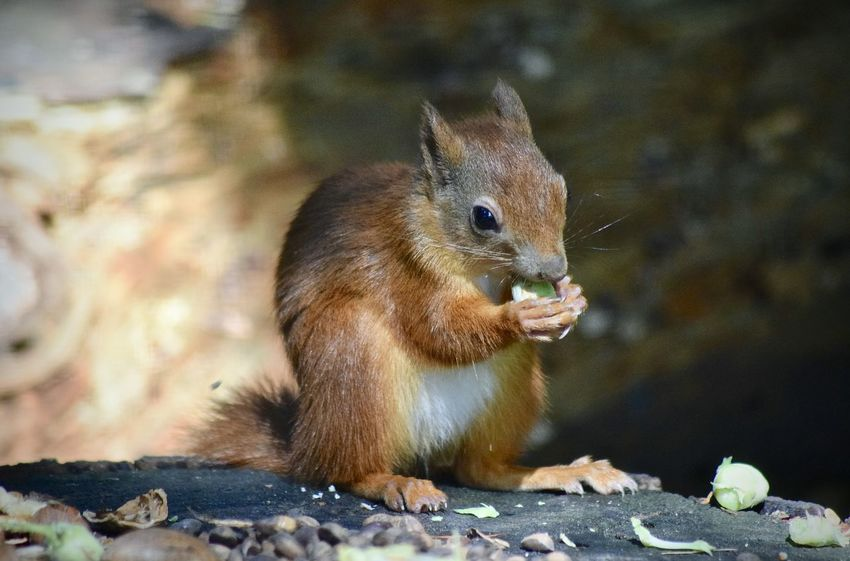 Nikon Red Squirrel Amateurphotography Animal Animal Themes Animal Wildlife Animals In The Wild Close-up Day Eating Focus On Foreground Food Mammal Nature No People Nut One Animal Rock Rock - Object Rodent Solid Squirrel Vertebrate Whisker