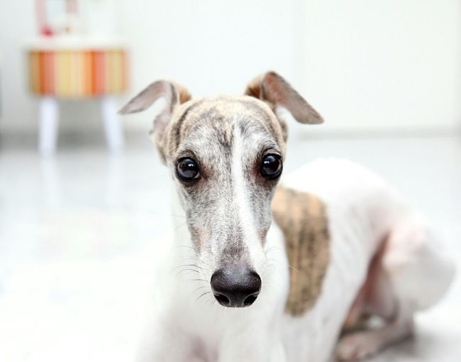 Close-up portrait of whippet at home