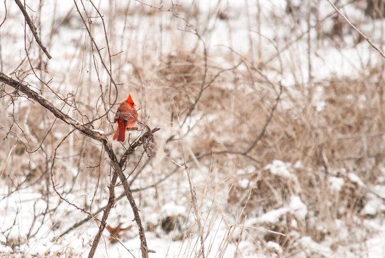 Solely Cardinal Red Red Bird In Tree Red Bird Cardinal Branch Nature Tree Red Bird Beauty In Nature Snow