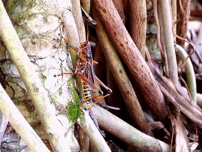 EyeEm Selects Animals In The Wild Animal Themes Animal Wildlife One Animal Tree Trunk Insect Tree Nature No People Day Outdoors Close-up Branch Beauty In Nature Entemology Grasshopper Insects  Wildlife Roots Greenery Pest Control Plant Garden Locust