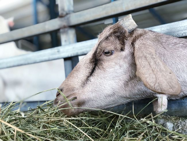 Beauty Eating Farm Goat EyeEm Selects Animal Themes Animal One Animal Animal Wildlife Vertebrate Mammal Day Animals In The Wild Nature Close-up No People Boundary Animal Body Part Outdoors Plant Domestic Animals Focus On Foreground Animals In Captivity Barrier Fence