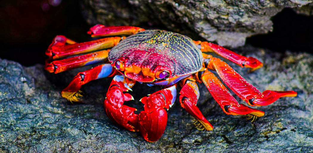 Close-Up Of Red Crab On Rock Formation