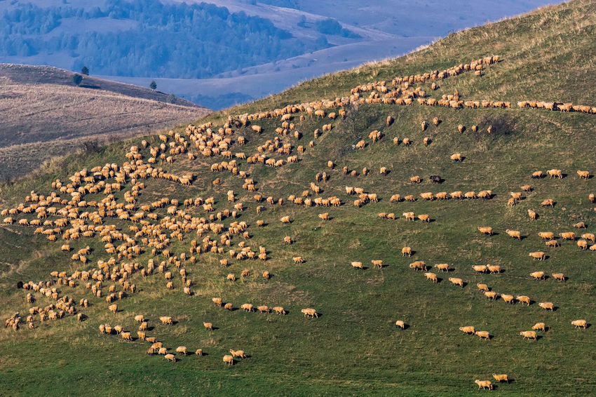 Grazing Green Color Hills Morning Agriculture Animal Countryside Environment Farming Field Flock Of Sheep Grass Group Of Animals Herd Lambs Land Landscape Livestock Mammal Meadow Mountain Outdoors Pasture, Paddock, Grassland, Pastureland Rural Scene Sheep