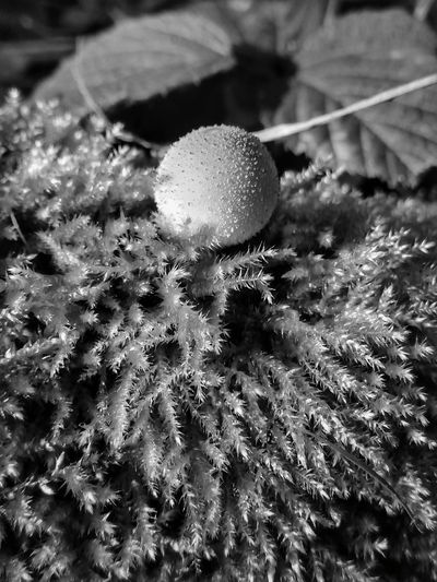 Tiny mushroom (Black and White photography) Growth Nature Plant No People Close-up Day Tranquility Outdoors Beauty In Nature Eyeemphotography The Week On EyeEm Black And White Black And White Photography Focus On Foreground Enhanced Photograph EyeEm Best Shots EyeEm Best Edits EyeEm Selects EyeEm Nature Lover EyeEm Gallery Fly Agaric Mushroom Autumn Mushroom Toadstool Fungus