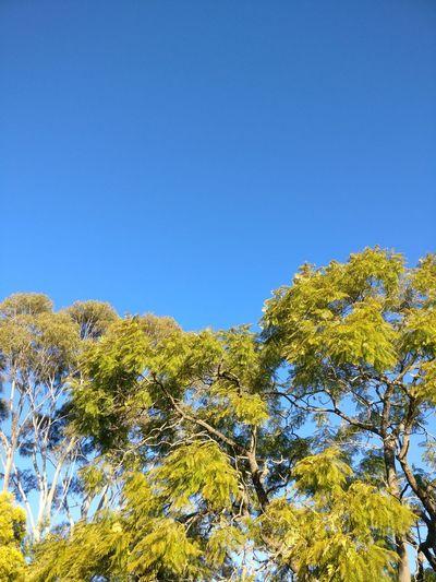 Blue sky sydney Blue Sky Sydney Tree Sydney