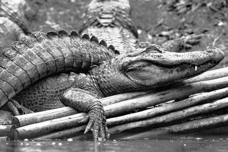 American alligators on wood at montgomery zoo